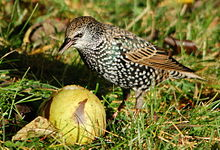 Starling eating fruit