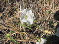 Stylisma pickeringii blooming.JPG