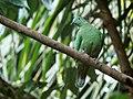 Sulawesi bn fruit dove trsr DSCN0805 v1.JPG