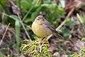 Sulphur-bellied Warbler (Phylloscopus griseolus) (8079441441).jpg