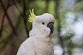 Sulphur-crested Cockatoo (Cacatua galerita) (8079604259).jpg