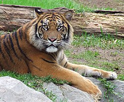 Sumatran tiger in Spanish zoo.jpg