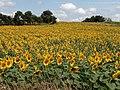 Sunflower field from Aegean.jpg