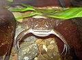 Surinam toad.jpg