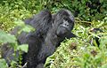 Susa group, mountain gorillas - Flickr - Dave Proffer (33).jpg