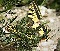 Swallow-tail. Papilio machaon. (30785872008).jpg