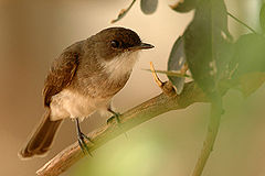 Swamp flycatcher.jpg