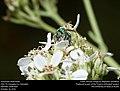 Sweat bee (Halictidae) (30960059092).jpg