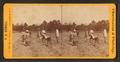 Sweet potato field, by F. A. Nowell.png