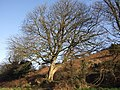 Sycamore in January - geograph.org.uk - 1139071.jpg
