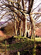 Sycamore trees on a boundary bank 2 - geograph.org.uk - 1167129.jpg