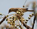 Sykes's Warbler (Hippolais rama) on Lannea coromandelica fruits W IMG 7911.jpg