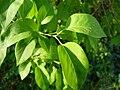 Syringa x chinensis2.JPG