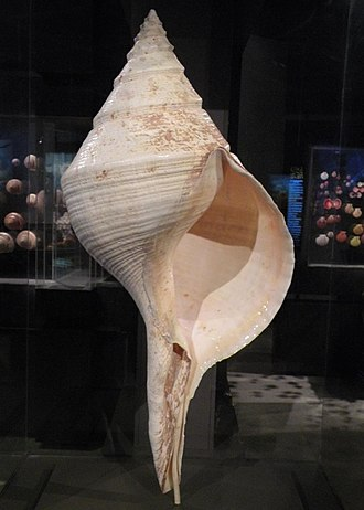Syrinx aruanus - Apertural view of a shell of Syrinx aruanus at the Houston Museum of Natural Science