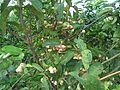 Syzygium (rose apple) tree in Hainan - 01.JPG