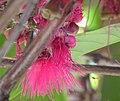 Syzygium malaccense (flower) in Costa Rica.jpg