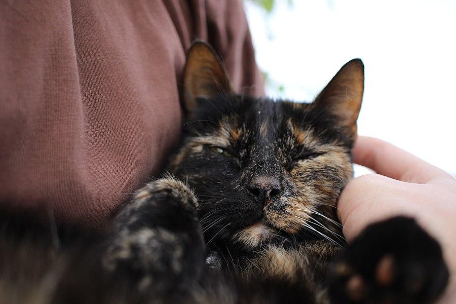 Tête chat écaille de tortue (02).jpg