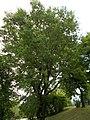 Tabáni Park Botanikai Tanösvény. Kocsányos tölgy (Quercus robur). - Budapest.JPG