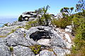 Table Mountain Cape Town 043.jpg