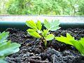 Tagetes-grow1.jpg