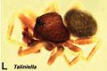 Taliniella nigra.jpg