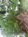 Tamarind Tree 2.jpg