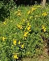 Tansy (Tanacetum vulgare) - Guelph, Ontario 2020-07-29.jpg