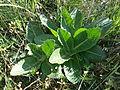 Taraxacum serotinum sl52.jpg