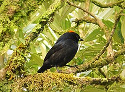 Tawny-crested Tanager Tachyphonus delatrii male - Flickr - gailhampshire (2).jpg