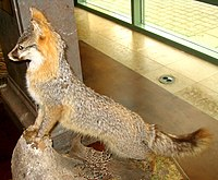 Taxidermied grey fox.jpg