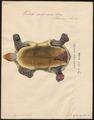 Testudo carbonaria - 1700-1880 - Print - Iconographia Zoologica - Special Collections University of Amsterdam - UBA01 IZ11600065.tif