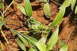Tettigoniidae 3536.jpg