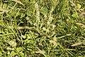 Teucrium scorodonia-4348.jpg