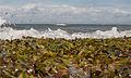 Thalassia testudinum in El Manglillo Beach NE-Venezuela.jpg