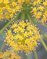 Thapsia villosa fleurs.jpg