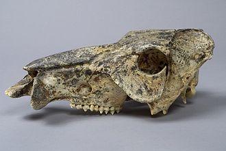 Platygonus - Platygonus compressus skull in The Children's Museum of Indianapolis