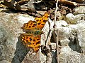 The Comma (Polygonia c-album) (8333187182).jpg