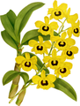 The Orchid Album-01-0041-0013-Dendrobium suavissimum-crop.png