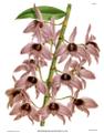 The Orchid Album-01-0128-0042-Dendrobium macrophyllum.png