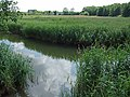The Reedbeds in July - geograph.org.uk - 894212.jpg