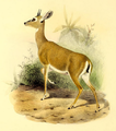 The book of antelopes (1894) Ourebia nigricaudata.png