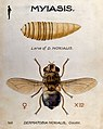 The larva and fly of Dermatobia noxialis. Coloured drawing b Wellcome V0022566.jpg