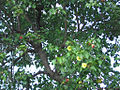Thespesia populnea (L.)Soland - Flickr - lalithamba.jpg