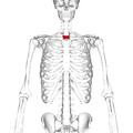 Thoracic vertebra 2 anterior.png