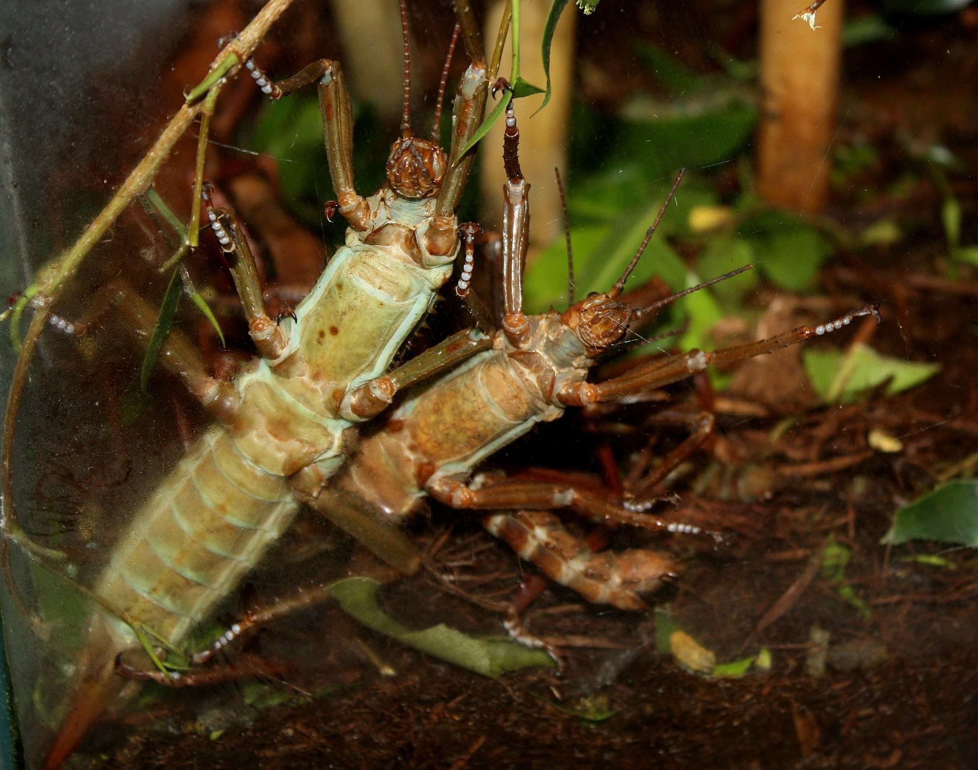 Thorny Stick Insect Poisonous Foods