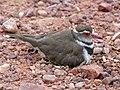 Three-banded Plover (Charadrius tricollaris) female on nest (11927139456).jpg
