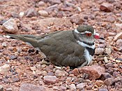 Three-banded Plover (Charadrius tricollaris) female on nest (11927139456).jpg