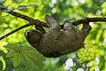 Three-toed Sloth - Cerro Ancon - Panama City (48454787316).jpg