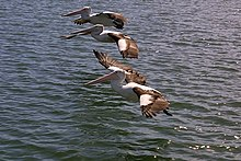 Three pelicans.jpg
