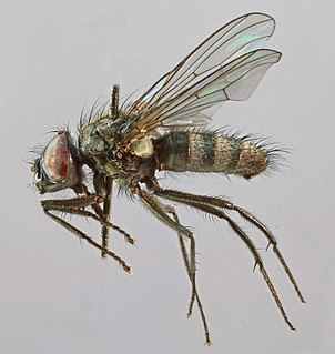 <i>Thricops rostratus</i> species of insect